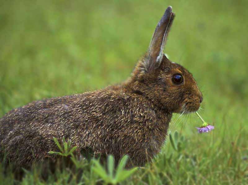 Как отличить декоративного кролика от обычного