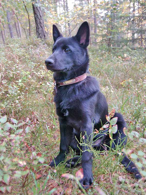 norwegian-elkhound-sort